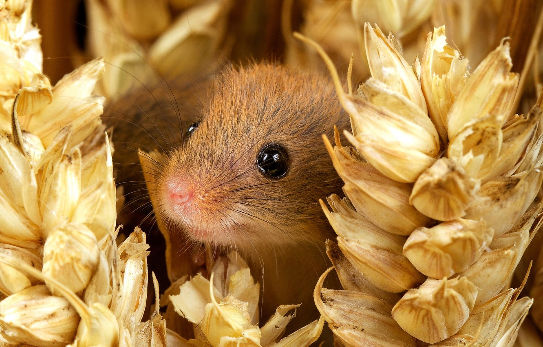Фото обои глаза, улыбка, мордочка, колосья, nature, mouse, small, Мышь-малютка, harvest mouse