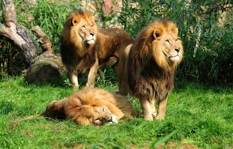 картинки один лев много львы несколько дней дизайнер