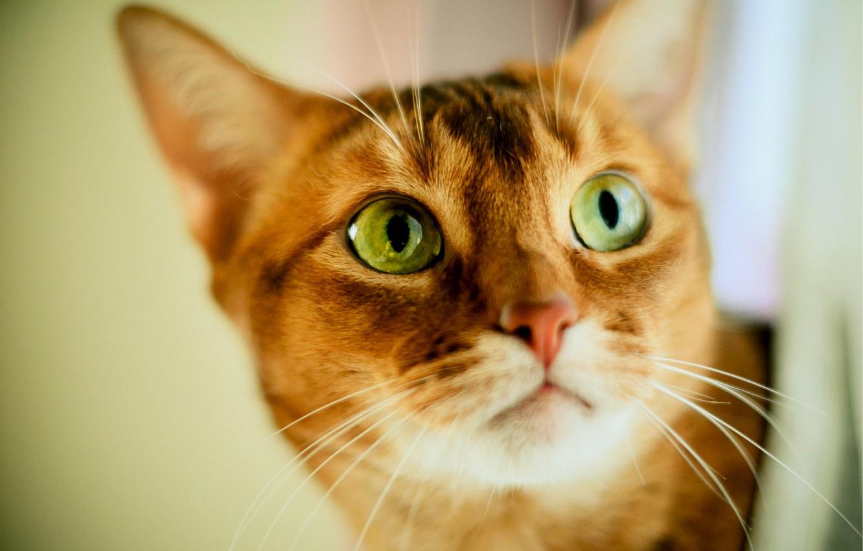Фото обои взгляд, размытость, Кот, рыжий, зеленоглазый