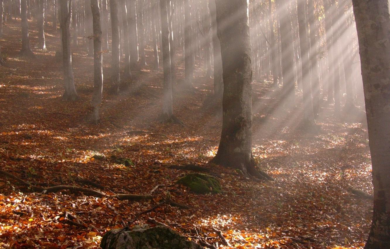 Фото обои осень, лес, листья, лучи, деревья, ветки, желтые опавшие листья, стволы