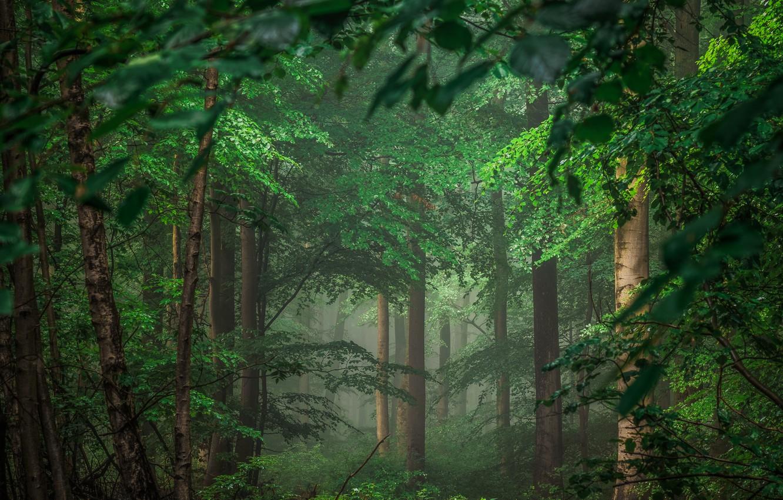 Фото обои лес, деревья, Германия, Germany, Eifel, Айфель
