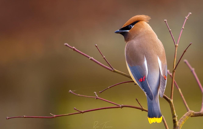 Фото обои фон, птица, ветка, свирестель