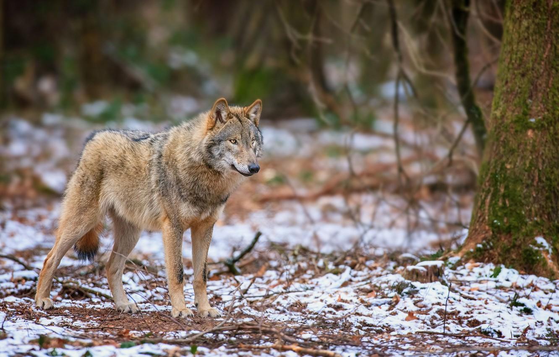 Фото обои осень, лес, снег, волк, хищник, стоит, смотрит