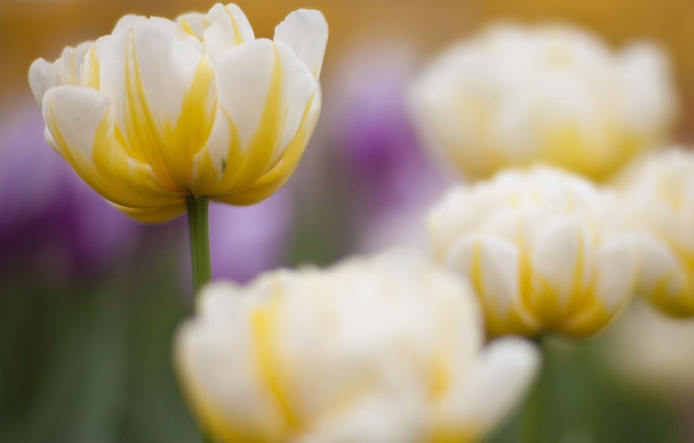 Картинки тюльпаны белые и желтые, картинка