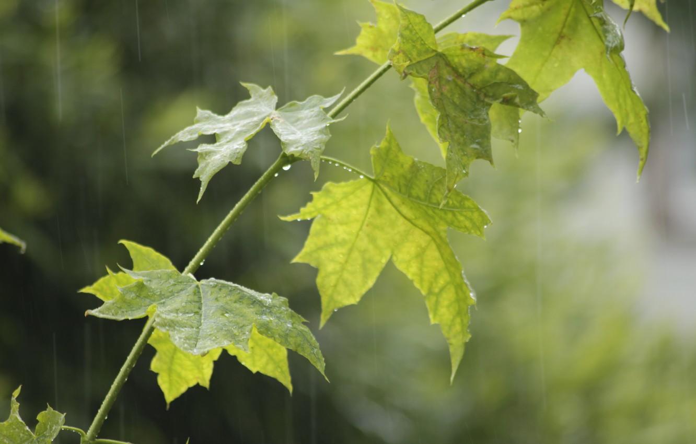 Фото обои лето, капли, дождь, ветка, клён, клен