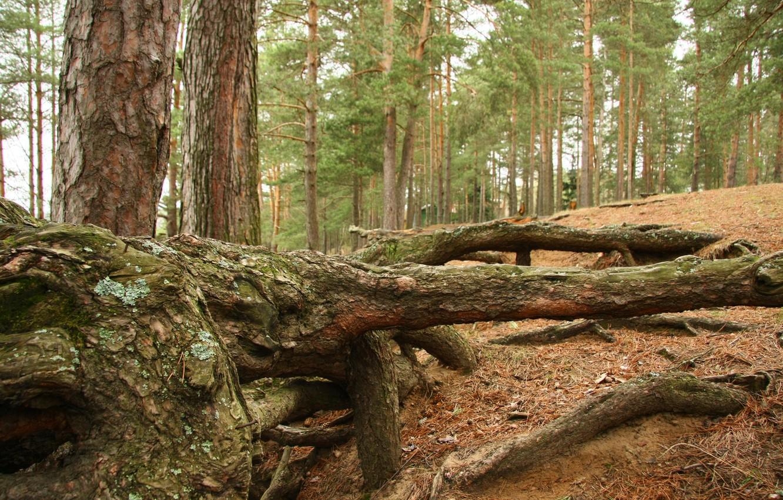 Фото обои лес, пейзаж, природа, корни, настроение, отдых, сосны, прогулка
