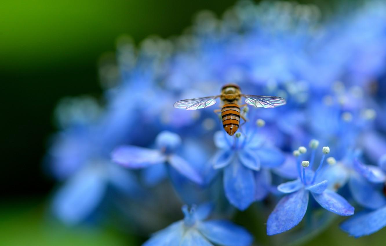 Фото обои макро, цветы, природа, лепестки, размытость, голубые, насекомое, Гортензия