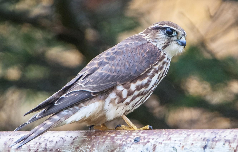 Фото обои взгляд, птица, хищник, Сокол, профиль