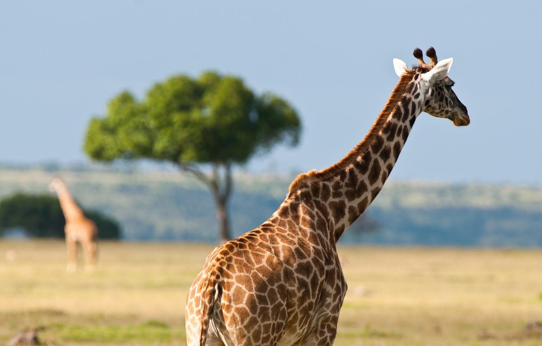 Фото обои животные, лето, жара, жирафы, африка, австралия, дикая природа