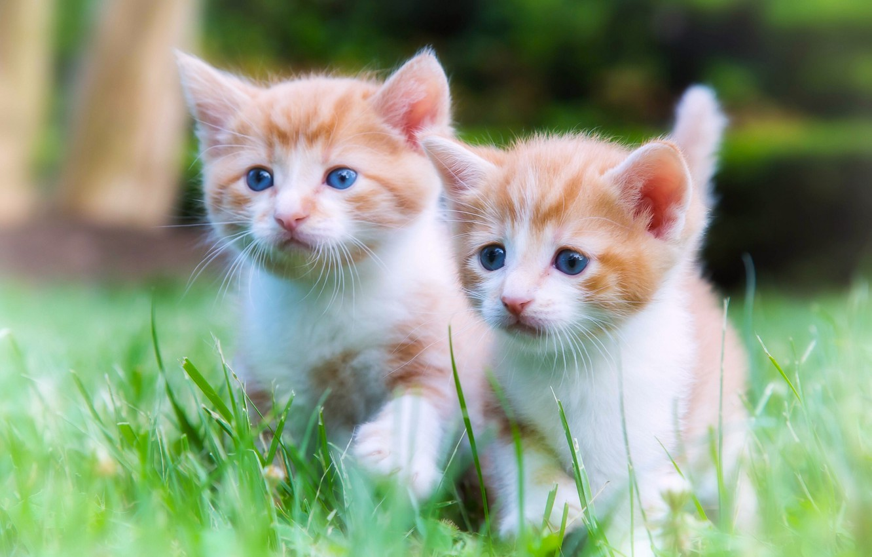 Фото обои котята, прогулка, малыши, парочка, двойняшки
