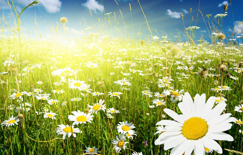 Фото обои зелень, поле, небо, трава, облака, цветы, ромашки, колоски, белые, солнечно