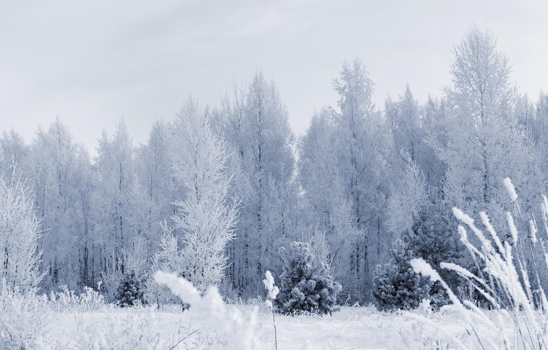 Фото обои иней, лес, снег, деревья, Зима