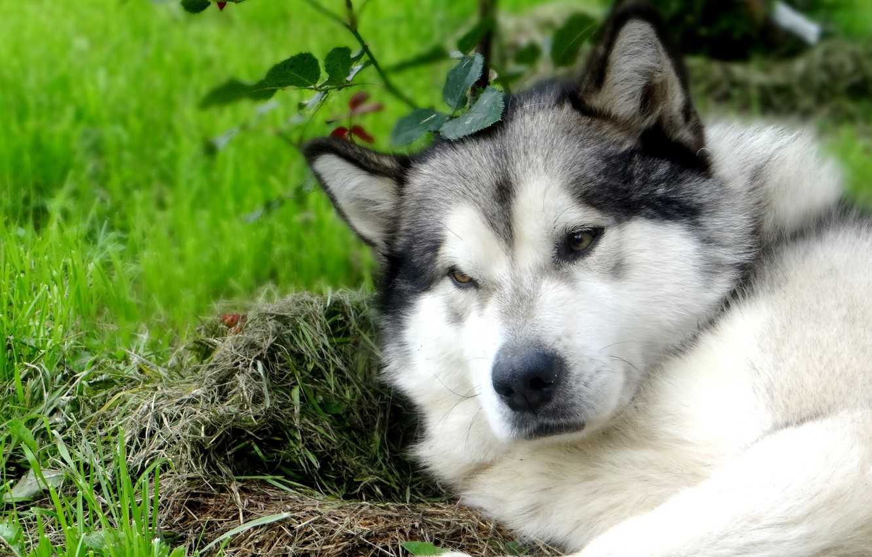 маламут волчий окрас