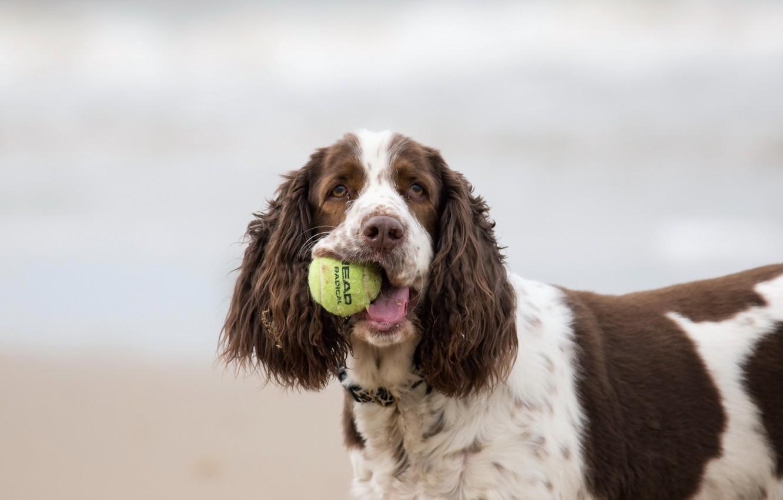 Обои Собака, мяч, друг. Собаки foto 12