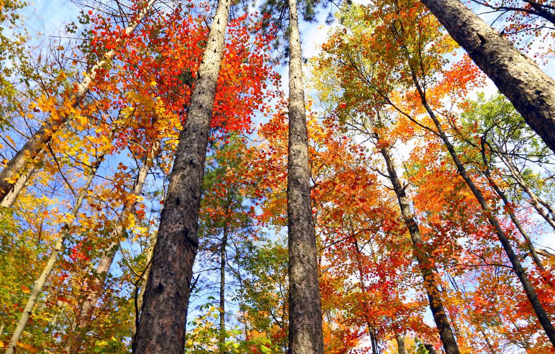 Фото обои осень, листья, деревья, Канада, Онтарио, багрянец