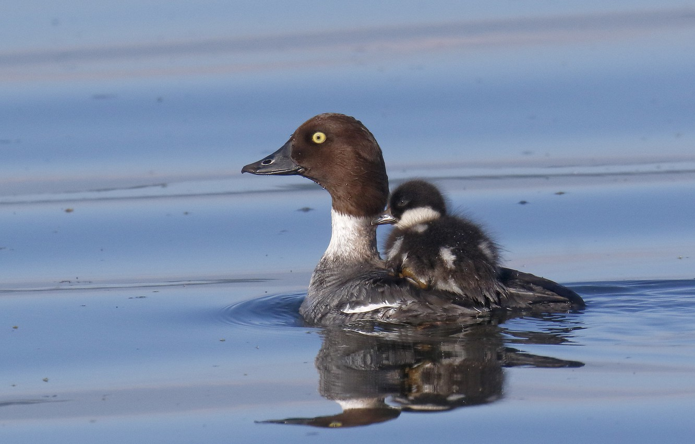 Фото обои вода, птица, переправа, утка, птенец, гоголь
