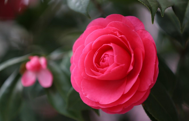 Фото обои цветок, макро, красный, фокус, лепестки, Камелия, японская камелия, Camellia japonica