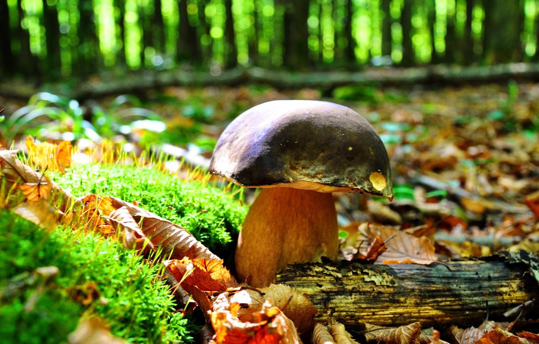 Фото обои осень, лес, листья, деревья, природа, гриб, мох, боровик
