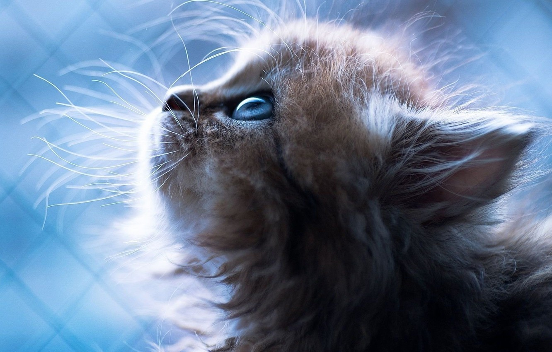 Фото обои cat, blue eyes, Kitten, animal, sweet, blue background, portrait, mustache, nose
