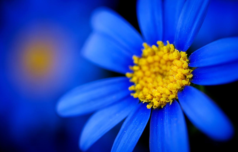 Фото обои макро, фокус, Цветок, лепестки, размытость, синие