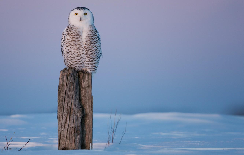 Фото обои холод, зима, снег, сова, птица, пень, пенек