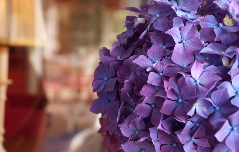 Обои гортензия, цветы, комната. Цветы foto 6