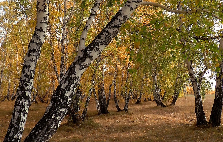 Фото обои осень, природа, фон, Сибирь, Берёзы