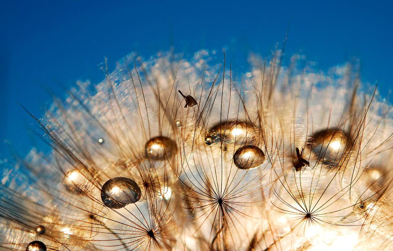 Фото обои небо, роса, одуванчик, капля, былинка