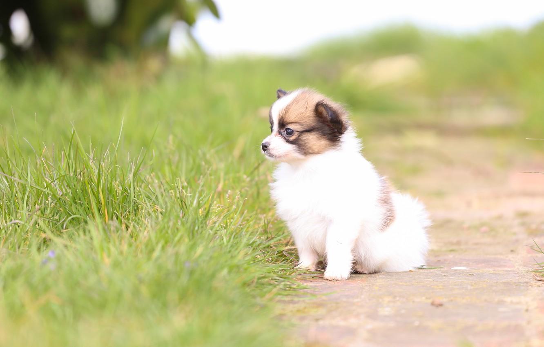Фото обои трава, собака, малыш, щенок, боке, Континентальный той-спаниель, Папильон