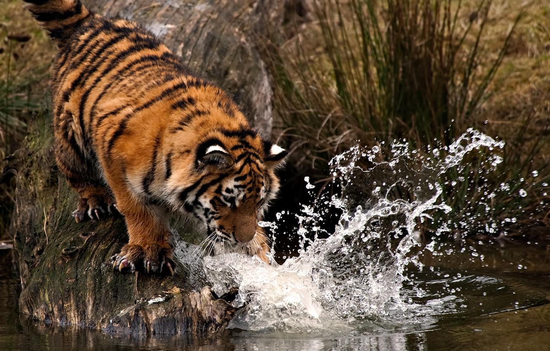Фото обои вода, капли, брызги, тигр, лапа, удар