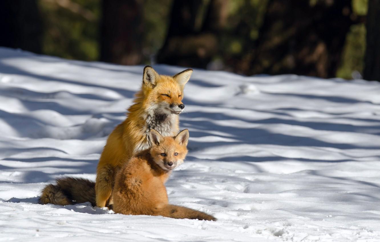 Обои лисёнок. Лисы foto 14