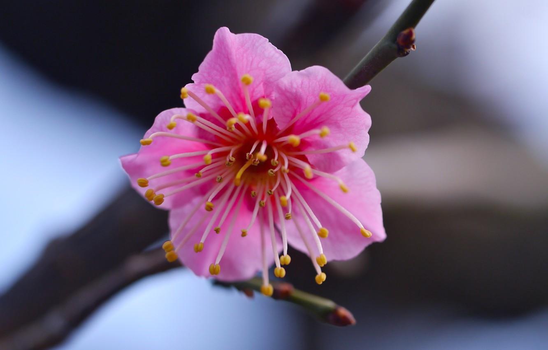 Фото обои цветок, макро, ветка, Розовый