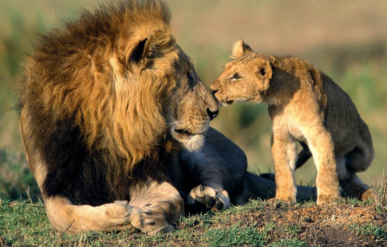 Фото обои кошки, звери, обои, лев, нос, отец, wallpaper, львёнок, сын, папа