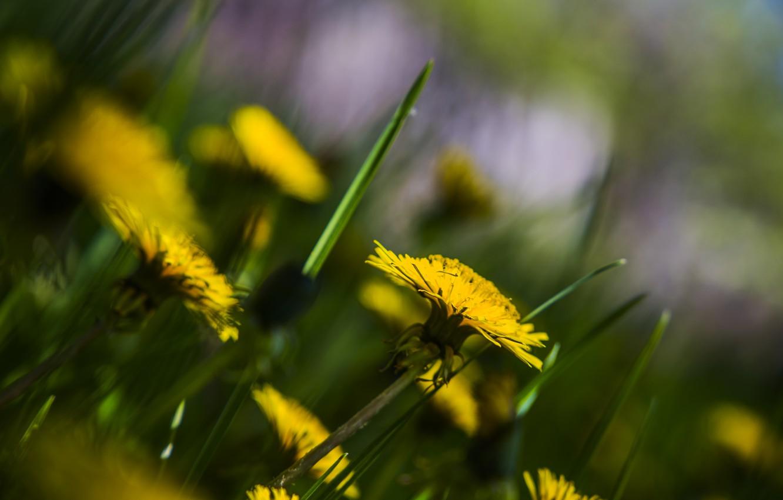 Фото обои лето, природа, Цветы, одуванчики