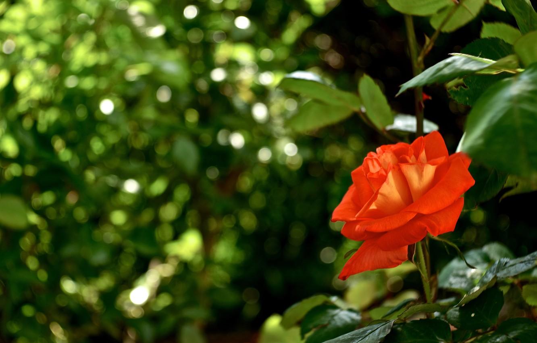 Фото обои зелень, роза, боке, алая роза