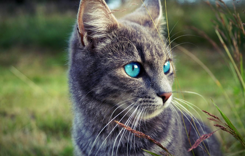Фото обои трава, глаза, взгляд, морда, природа, серый, Кот