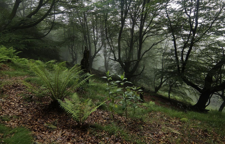 Фото обои лес, деревья, папоротники