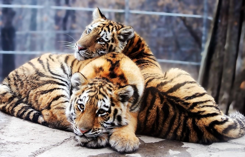 Фото обои тигрята, Амурский тигр, Panthera tigris altaica