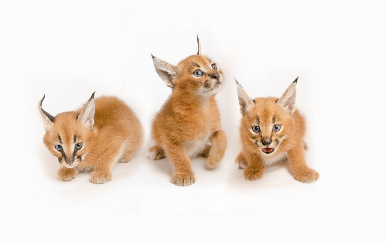 Обои котята, Рысь, детёныши, дикая кошка. Кошки foto 12