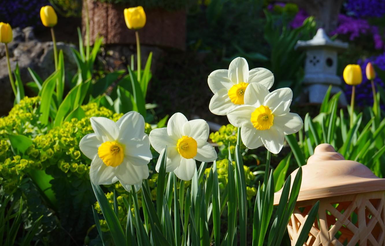 Фото обои цветы, природа, сад, тюльпаны, нарциссы