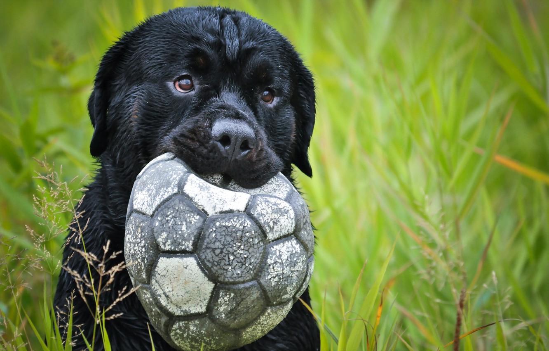 Обои Собака, мяч, друг. Собаки foto 9
