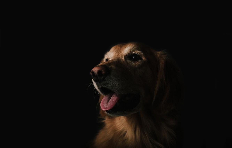 Фото обои морда, собака, пес