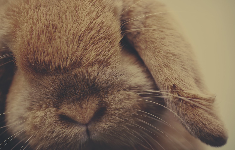 Фото обои животное, шерсть, кролик
