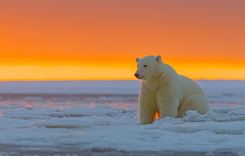 Фото обои закат, Аляска, Белый медведь, ледяная пустыня, Национальный Арктический заповедник