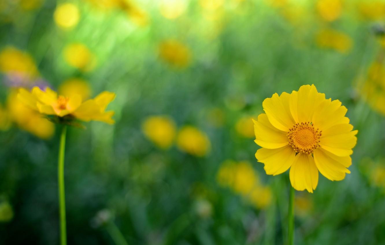 Фото обои цветы, фон, желтые, космея