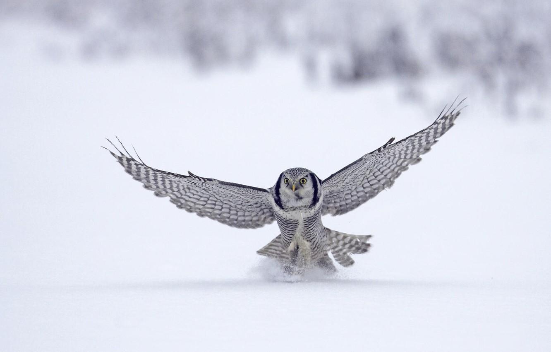 Фото обои зима, снег, животное, птица, полёт, сокол, bird, flight, winter, snow, animal, 1920x1080, falcon