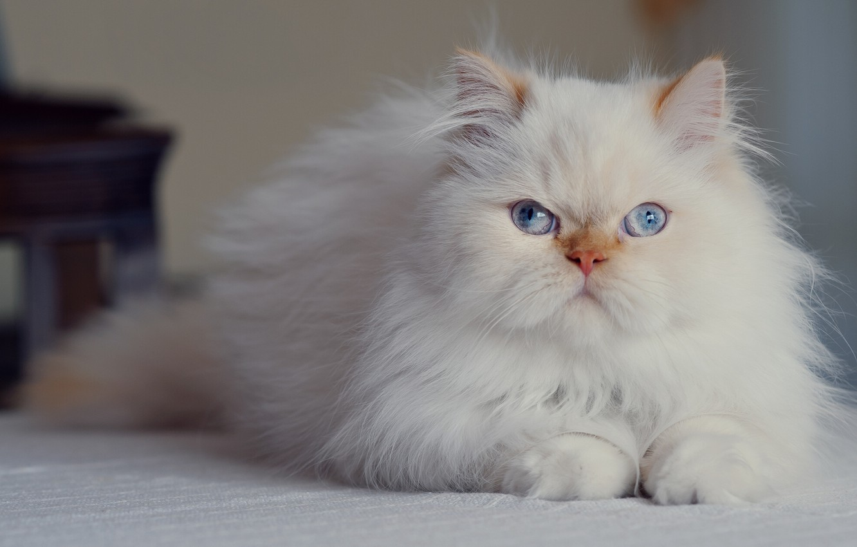 Фото обои взгляд, голубые глаза, пушистая, персидская кошка