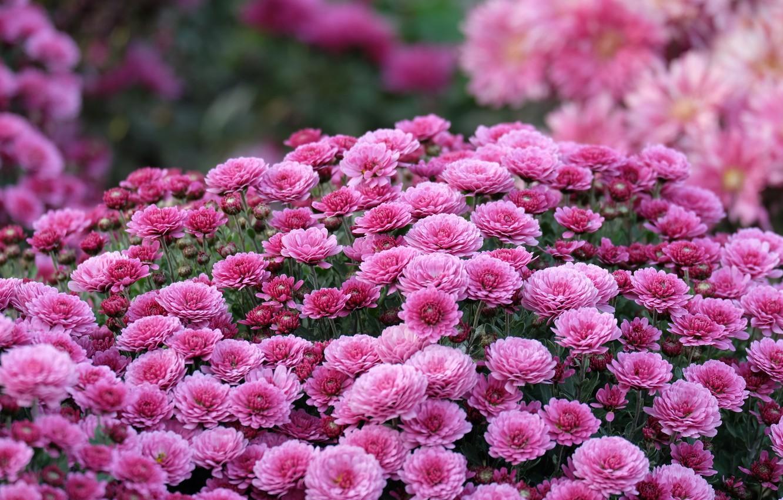 Фото обои осень, макро, цветы, сиреневый, хризантемы, боке