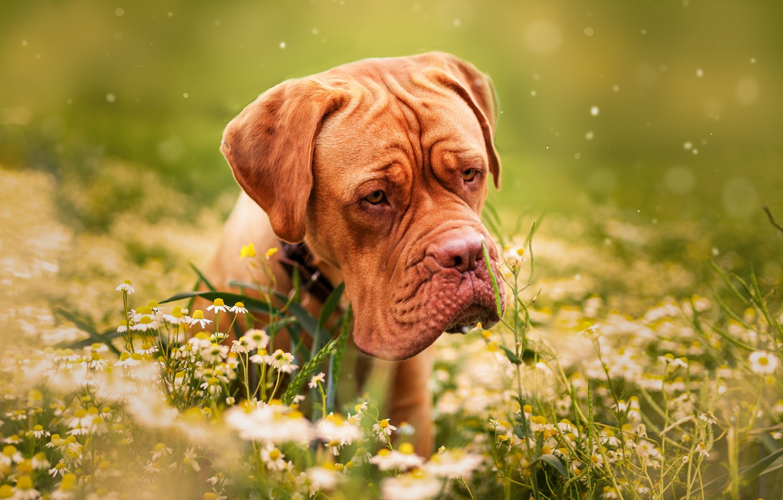 Фото обои трава, цветы, природа, животное, ромашки, собака, пёс, дог, бордоский дог