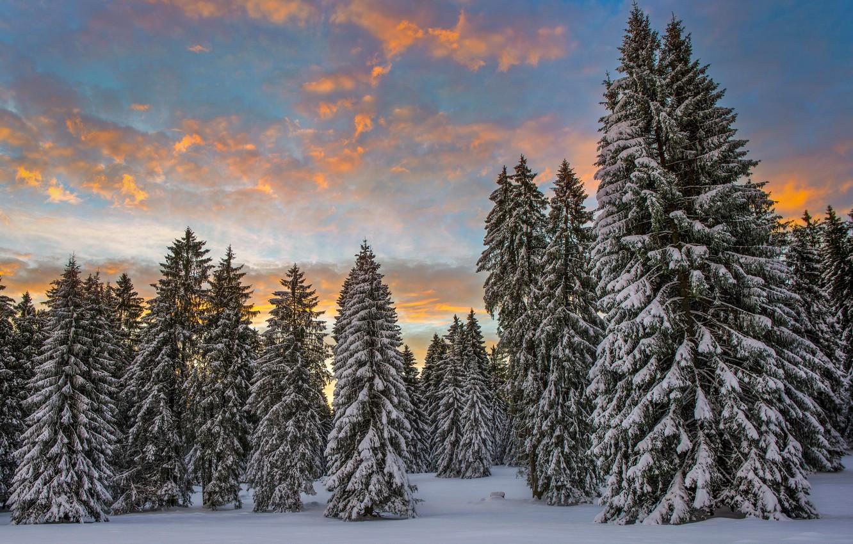 Фото обои зима, лес, облака, снег, утро, Швейцария, ели